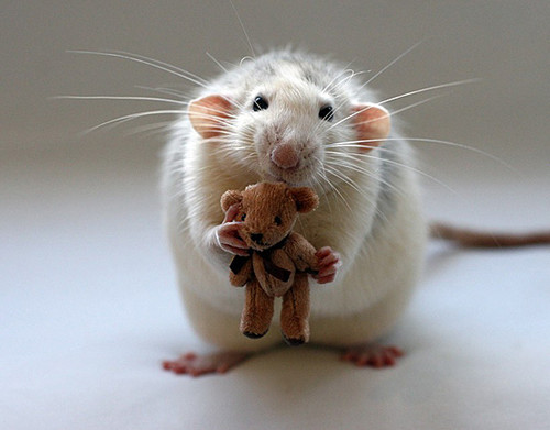 Cute Rat!