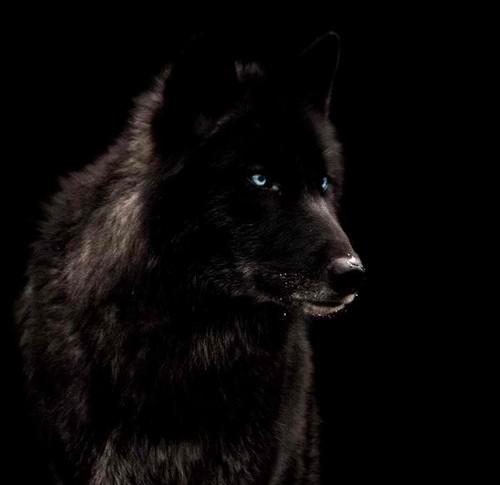 Go Dire lobo