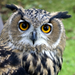 Great Horned Owl Icon - owls icon