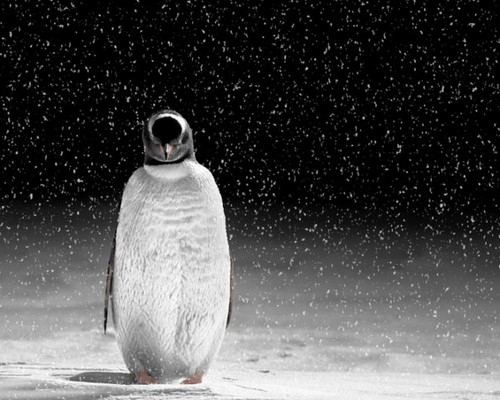 Penguin  - animals Photo