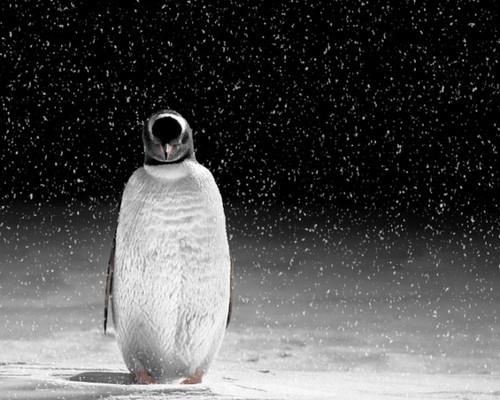penguin, auk