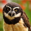 Spectacled Owl Icon - owls Icon