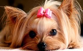 Cute chó con hình nền possibly containing a yorkshire giống chồn, chó sục, chó săn terrier entitled cute