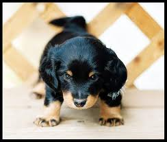 cute dachaund puppy