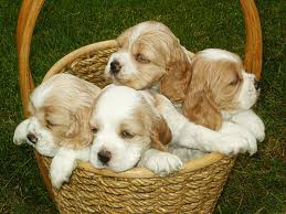 cute chiots in a basket