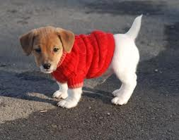 cute chiot in sweater