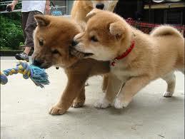cute shiba inu chó con