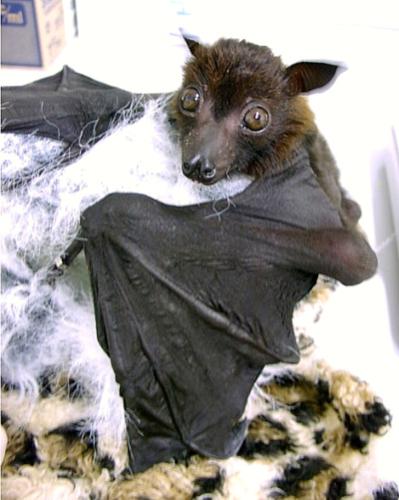 flying 狐狸 bat
