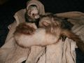 Bath Time - ferrets photo