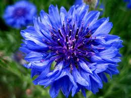 Blue پھول