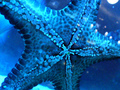 Blue Starfish - blue photo