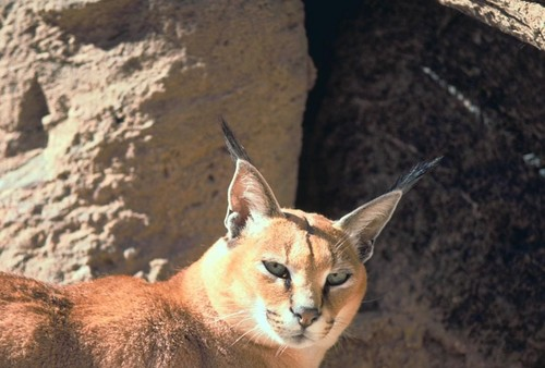 Caracal wallpaper titled Caracal
