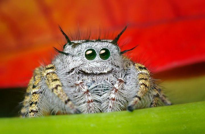 Cute jumping spider - photo#5