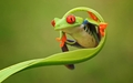 Frog  - animals wallpaper