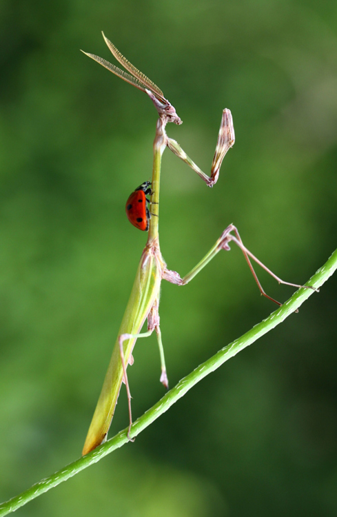 praying-mantises Photo...