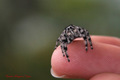 Little Jumping Spider!