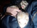 Princess Pea smiling - ferrets photo