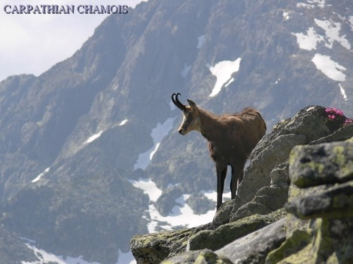Romania mountains landscape Wild động vật scenery in Châu Âu