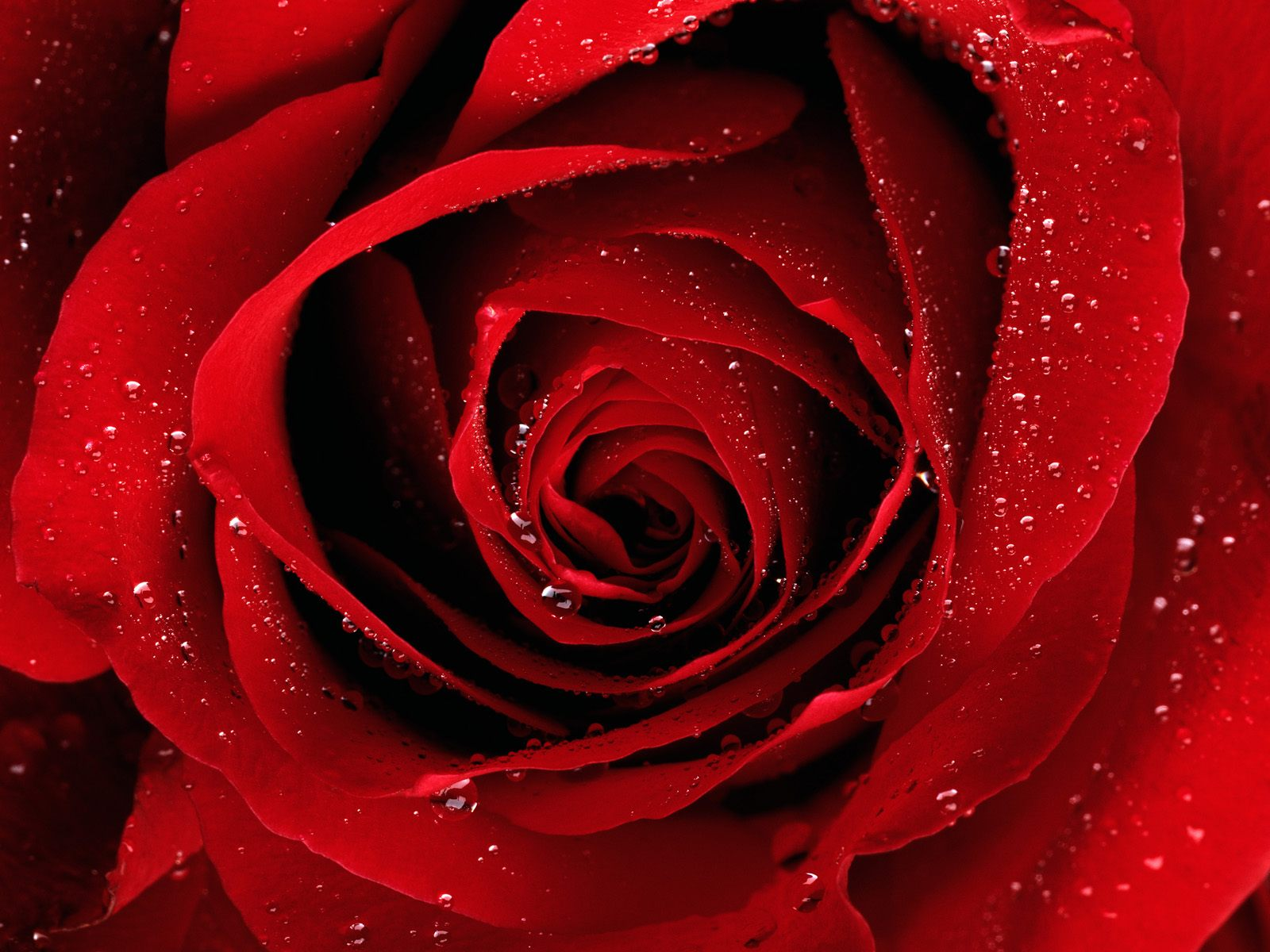 30 eye catching rose pictures