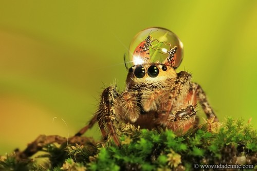 Spider with water drop hat!  :) - arachnology Photo