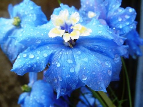 Flowers images delphinium hd wallpaper and background - What are blue roses called ...