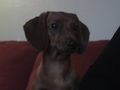 Cinnammon Roll the Dachshund - dachshunds photo