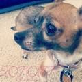 Fiona - chihuahuas photo