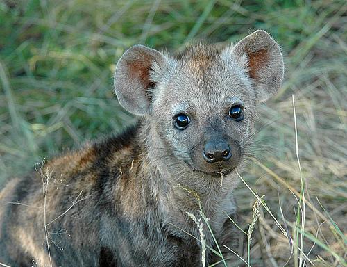 Hyena babies