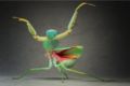 Mantis! - praying-mantises photo