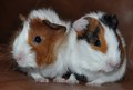 My Precious Piggles - guinea-pigs photo
