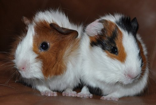 Guinea Pigs wallpaper entitled My Precious Piggles