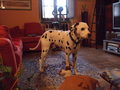 Pongo - fanpop-pets photo