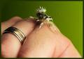 Small mantis - praying-mantises photo