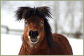little shet - horses photo