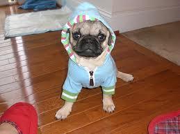 Pugs wallpaper titled pug :)