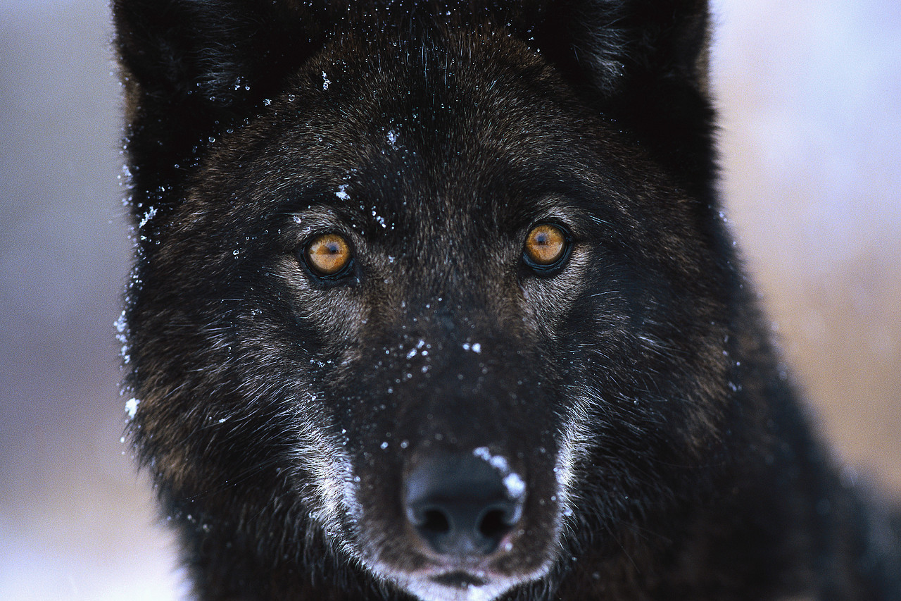 black wolves with blue eyes - photo #5
