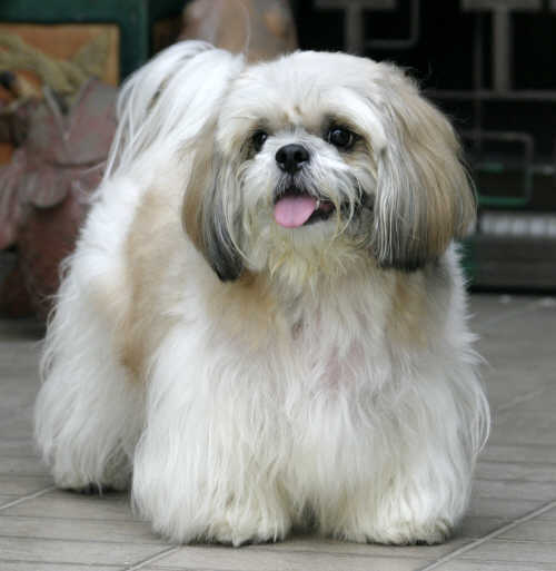 Which hair style do perfer for a Lhasa? - Lhasa Apso - Fanpop