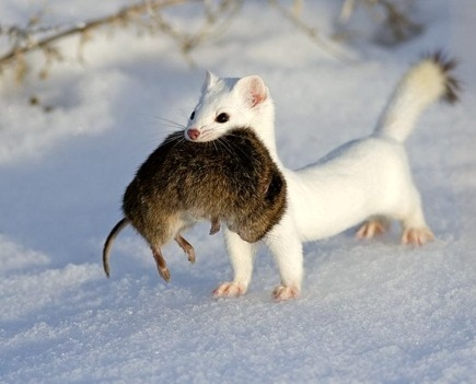 Baby short tailed weasel - photo#10