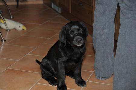 What's the name of this beautiful Labrador Retriever puppy?