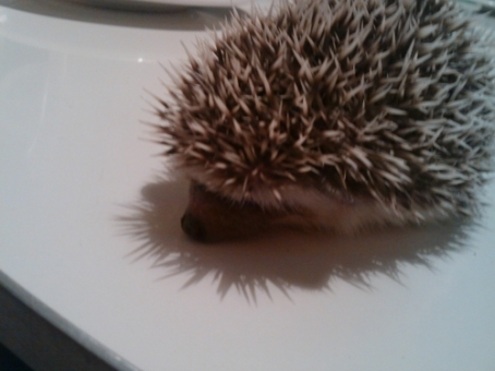 who is the owner of a standard pygmy hedgehog named Ddochi from 2NE1