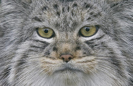 What is the latin name for Pallas Cats?