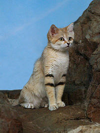 What is the sand cat's latin name?