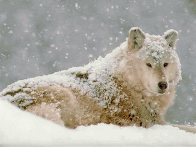 How are the older wolves that are no longer able to hunt treated by the rest of the pack?
