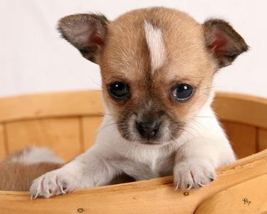 it s a chiwawa puppy   the random trivia quiz   fanpop