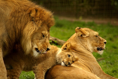 How many cubs can lions have?