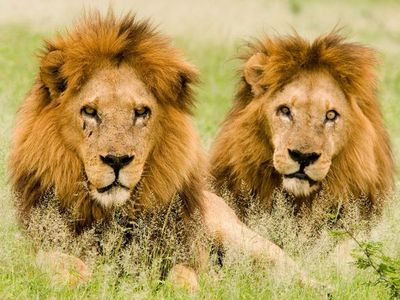What are the males called if they're are more than one in a pride?