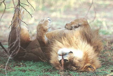 How long do lions sleep?
