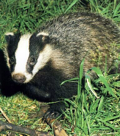 True or false badgers are known for their hostility against other animals