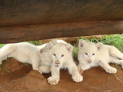 When did white lions first came to public attention ?