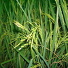 at cocos festival 2012- rice trees were grown on the sidewalk kimngan_vn photo